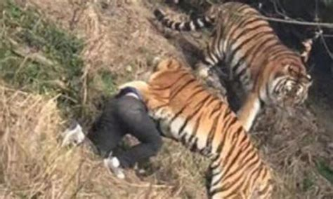 A Tourist Was Mauled To Death By A Tiger After Jumping