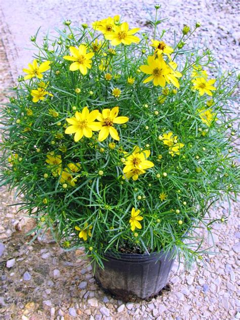 Coreopsis (2 Gallon Container) - $10