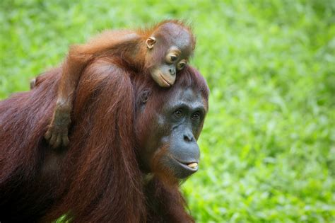 How Palm Oil Deforestation Is Hurting the Orangutan
