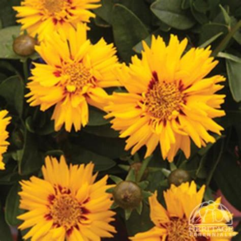 Plant Profile for Coreopsis 'Rising Sun' - Double