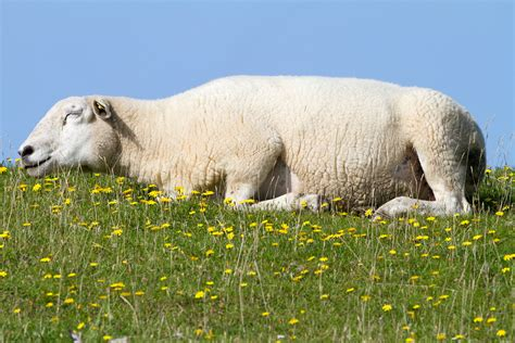 Stoned sheep go on 'psychotic rampage' after eating