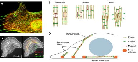 Actin stress fibres | Journal of Cell Science
